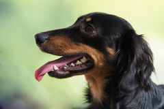 Black and tan long-haired dachshund. Portrait of black and tan long-haired dachshund with mouth open and tongue sticking out royalty free stock photos