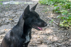 Portrait of a Black thai dog.  Royalty Free Stock Photography