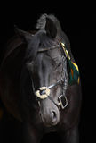 Portrait of a black thoroughbred stallion. On dark bushes background Stock Photography