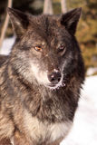 Portrait of a black timber wolf Royalty Free Stock Photos