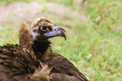 Portrait of a black vulture or the brown vulture Aegypius monachus is a bird of the hawk family. Summer day stock photo