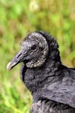 Portrait of a Black Vulture Royalty Free Stock Images
