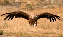 Portrait of a black vulture in the nature stock photography