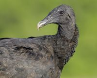 Portrait of a black vulture taken in Panama. The black vulture, also known as the American black vulture, is a bird in the New World vulture family whose range stock images