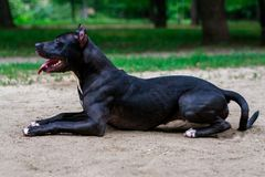 Portrait Black and white American pit bull terrier lies ismiles with tongue in the park.  stock images