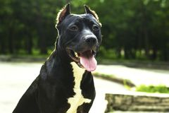 Portrait Black and white American pit bull terrier sits and smiles with tongue in the park.  stock image