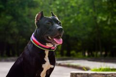 Portrait Black and white American pit bull terrier sits and smiles with tongue in the park.  royalty free stock photos