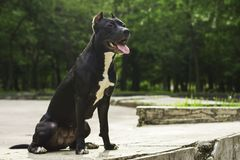 Portrait Black and white American pit bull terrier smiles with tongue in the park.  stock images