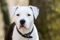 Portrait of black and white amstaff dog at the park Stock Photography
