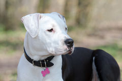 Portrait of black and white amstaff dog at the park Royalty Free Stock Photo