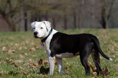 Portrait of black and white amstaff dog at the park Stock Photo