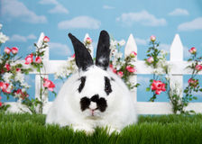Portrait of a black and white bunny in a flower garden. White and black dwarf mixed bunny laying in green grass facing viewer, white picket fence with small pink Stock Images