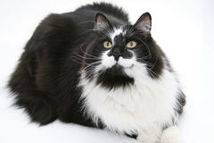 Portrait of a Black and White Cat. A big black and white cat poses on a white background for this lovely feline portrait Royalty Free Stock Image