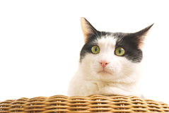 Portrait of black and white cat Royalty Free Stock Photography