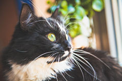 Portrait of black-white cat. At the window Royalty Free Stock Photo