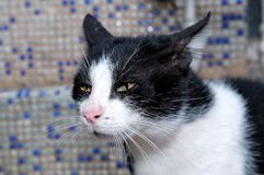 Portrait of a black-and-white cat Royalty Free Stock Photos