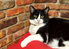 Portrait of a black and white cat by brick wall. Portrait of one black and white tabby cat laying on a red blanket next to a brick wall looking directly at Stock Photos