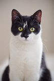 Portrait of a black-and-white cat. Stock Image