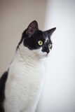 Portrait of a black-and-white cat. Royalty Free Stock Images