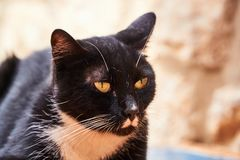 Portrait of black and white cat Royalty Free Stock Images