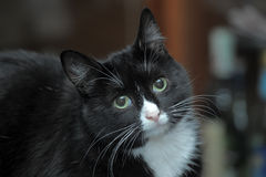 Portrait of a black and white cat Stock Photos