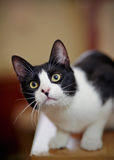 Portrait of the black-and-white cat Stock Image