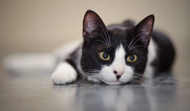 Portrait of the black-and-white cat. Lying on a floor stock image