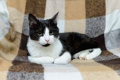 Portrait of black and white cat Royalty Free Stock Photo
