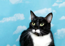 Portrait of a black and white cat Stock Image