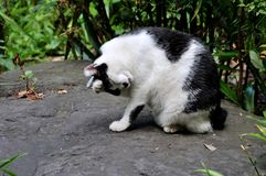 Portrait of a black and white cat at Ueno Park in Tokyo royalty free stock images