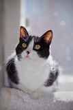 Portrait of a black-and-white cat with yellow eyes. Stock Photos