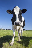 Portrait of black and white cow Royalty Free Stock Photography