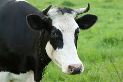 Portrait of black and white cow on a pasture Stock Images