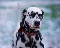 Portrait of black and white dalmatian dog Stock Photography