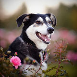 Portrait of a black-and-white dog in pink roses. Royalty Free Stock Photos