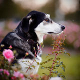 Portrait of a black-and-white dog in pink roses. Stock Photography