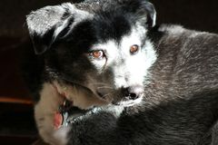 Portrait of black and white dog. Side light from window. 6 year old mixed breed dog. Lit by the sun shining through window Stock Photography