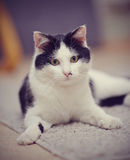 Portrait of a black-and-white domestic cat Royalty Free Stock Image