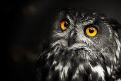 Portrait black and white Eurasian eagle-owl, owl royalty free stock photo