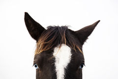 The portrait of black and white horse looking straight. With blue eyes Royalty Free Stock Image
