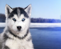 Portrait black and white Husky dog in the background of the snow river Stock Photos