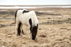 Portrait of a black and white Icelandic horse. On a meadow in spring Royalty Free Stock Photo