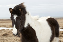 Portrait of a black and white Icelandic horse. On a meadow in spring Stock Photo