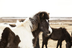 Portrait of a black and white Icelandic pony. In a herd Royalty Free Stock Photography