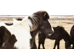 Portrait of a black and white Icelandic pony. In a herd Royalty Free Stock Images