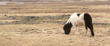 Portrait of a black and white Icelandic pony. On a meadow in spring Royalty Free Stock Photos