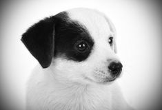 Portrait Black and White of Jack Russell puppy Stock Photo