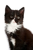 Portrait of a black-and-white kitten. On a white background Royalty Free Stock Images