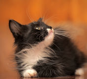 Portrait of a black and white kitten Stock Photos
