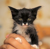 Portrait of a black and white kitten Royalty Free Stock Photos